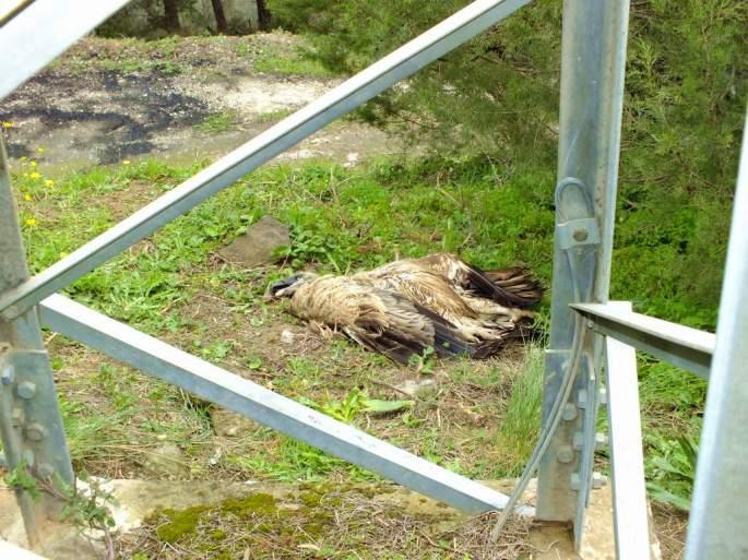 Buitre leonado muerto por electrocución en apoyo eléctrico de diseño muy peligroso (del tipo aislador rígido)