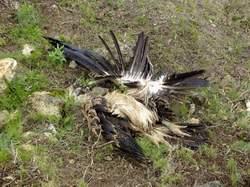 Buitre leonado muerto por electrocución