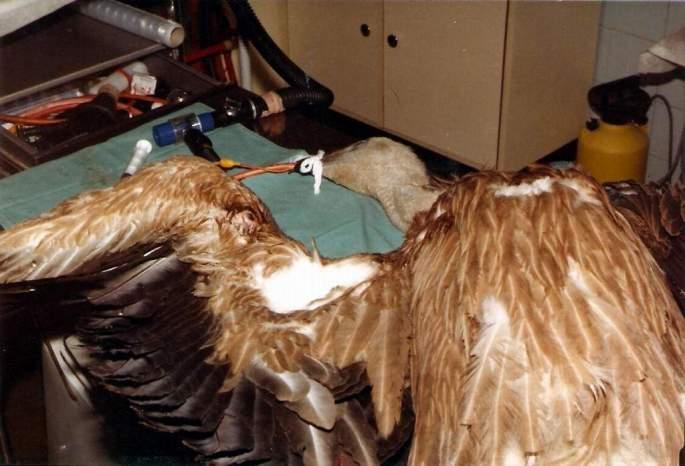 Estepona es sometida a una complicada intervención quirúrgica para intentar reconstruir el ala fracturada por el disparo recibido.