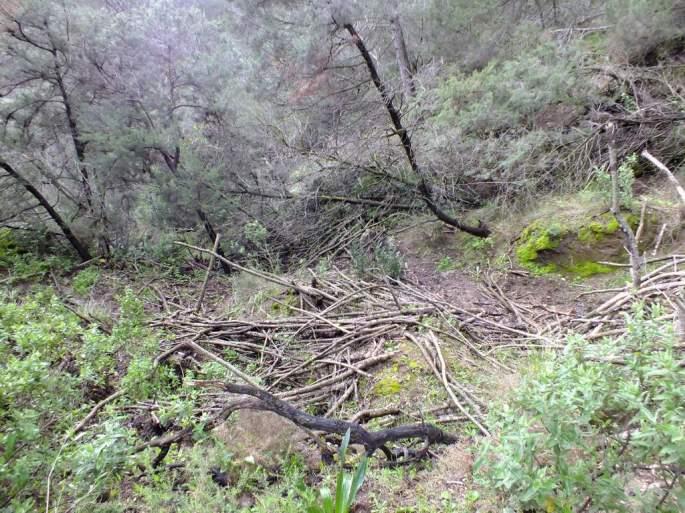 El día que por algún extraño motivo Estepona consiguó escapar del cercado se internó, a pie, en un monte de vegetación muy densa, por donde se organizaron numerosos dispositivos de búsqueda, todos sin éxito