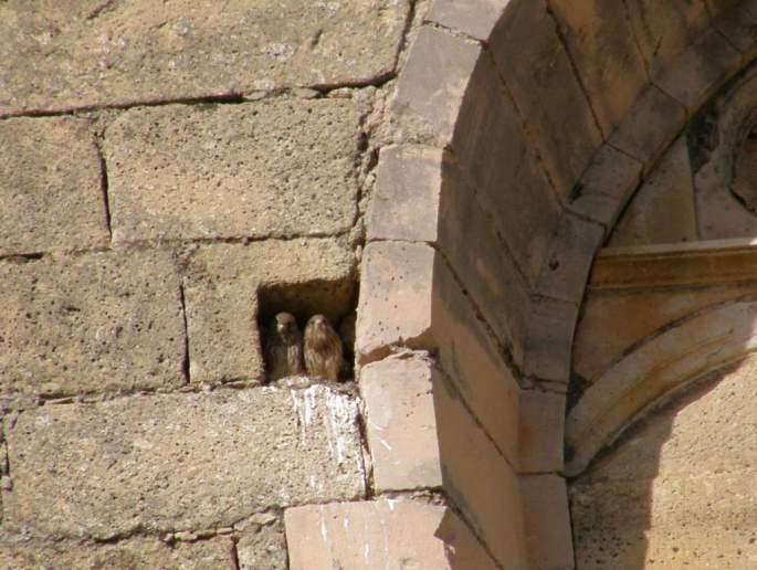 Pollos de Cernícalo común en su nido