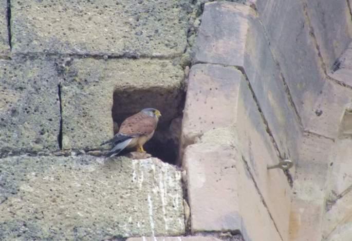 Adulto de Cernícalo común (macho) en el mechinal de la iglesia que utilizan como lugar de nidificación