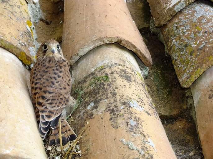 Pollo de Cernícalo devuelto a las cercanías de su nido, tras las inspección de su estado de salud y una vez recuperado de su anticipado vuelo