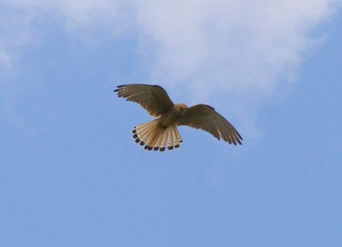 Cernícalo común, cernido en vuelo, a la búsqueda de pequeños roedores e insectos