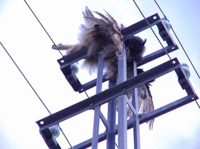 Otro Búho real electrocutado en la Hoya del Tajo, Ronda