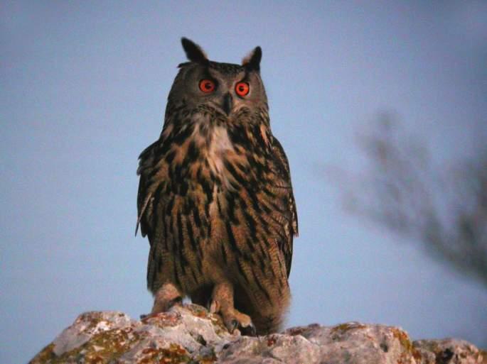 Búho real (Bubo bubo) en libertad, Serranía de Ronda