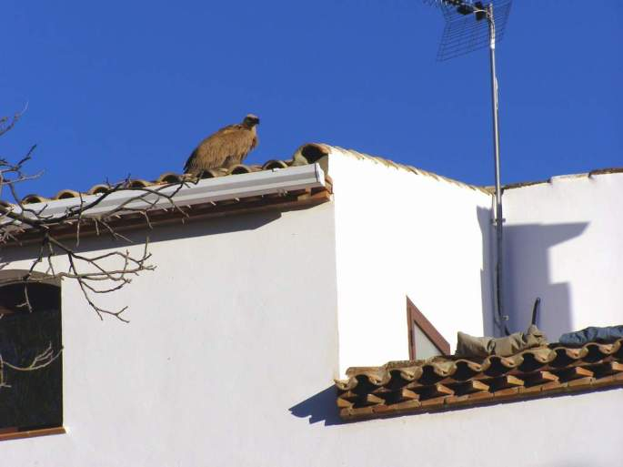 Se debe dar aviso de un buitre que se posa un tiempo sobre un tejado, esta situación anormal para la especie puede indicar que el ave presenta algún problema