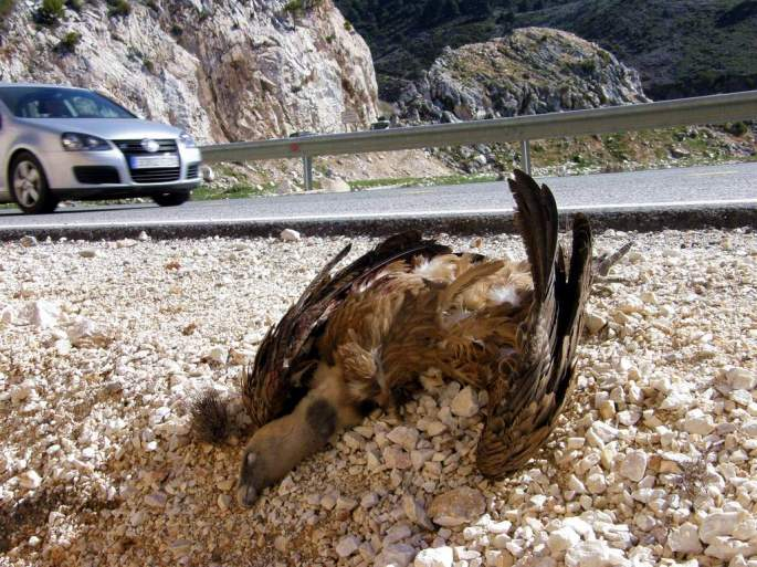 Buitre muerto por colisión de un vehículo cuando se alimentaba de una oveja atropellada que quedó en la cuneta de la carretera