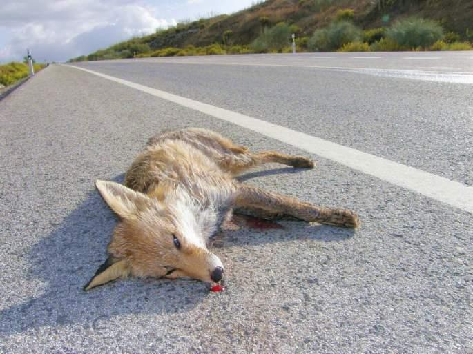 Zorro atropellado. A veces los buitres pueden bajar para alimentarse incluso de animales de pequeño tamaño