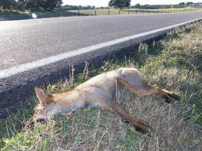 Los animales muertos que quedan en la cuneta igualmente pueden provocar la muerte de otros animales carroñeros que se acercan para alimentarse