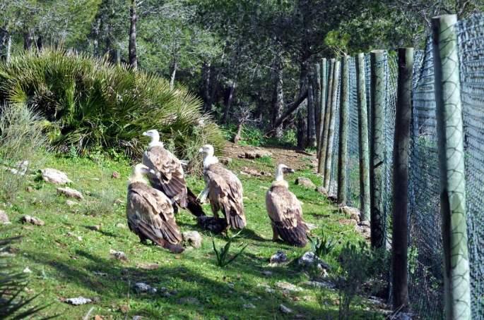 Ejemplares irrecuperables de Buitre leonado (Gyps fulvus), en el comedero de El Chorro
