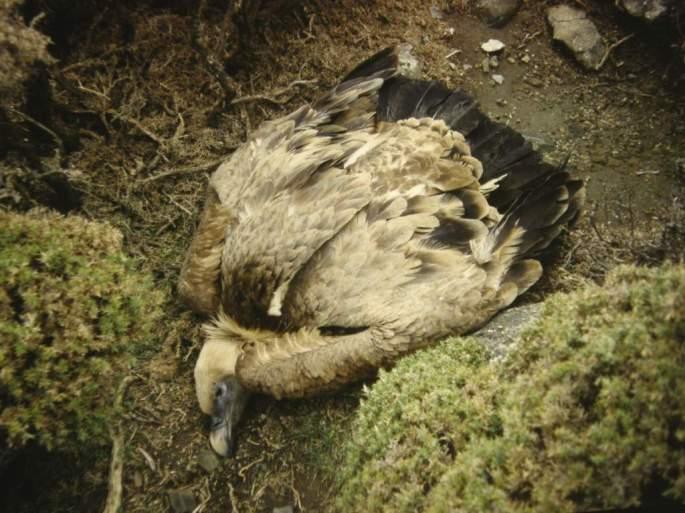 Ejemplar adulto de Buitre leonado muerto a causa de un cebo envenenado colocado por un ganadero