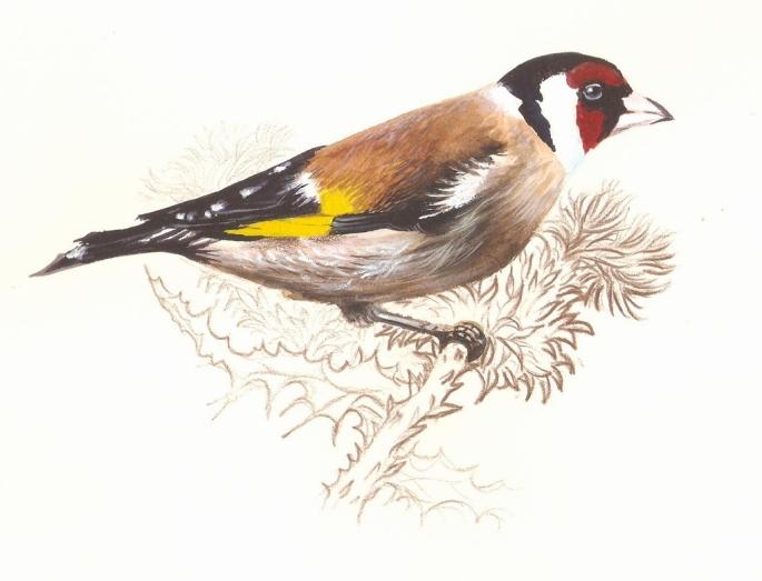 Jilguero (Carduelis carduelos). Acuarela de Paco Marín, el Artista de la Naturaleza